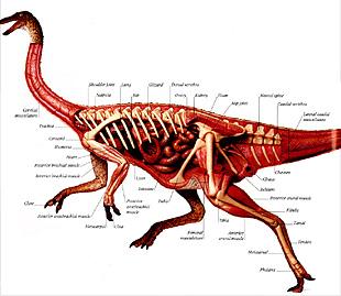 Anatomy of a dinosaur