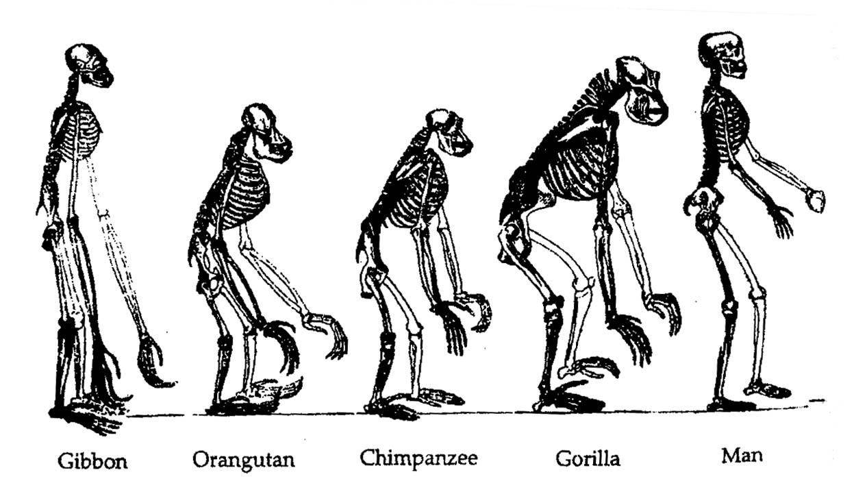 biology2-ths - human evolution, Skeleton